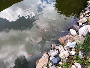 Teich_Goldfische